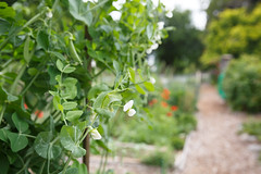 173/365 pea patch
