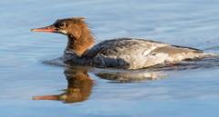 Merganser (Ronda Hamm) Tags: 100400mkii 7dii acadianationalpark bird maine canon duck merganser nature reflection water waterfowl wildlife
