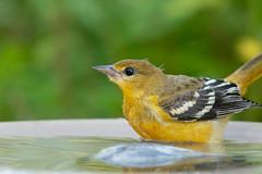 Baltimore Oriole  Fledgling-40736.jpg (Mully410 * Images) Tags: drinking birdwatching birding backyard bathing bird birds birdbath birder baltimoreoriole oriole fledgling