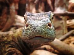 Komodo dragon (TallBirdPhotos) Tags: animal komododragon dragon closeup nature beautiful colour colors color colours scale scales