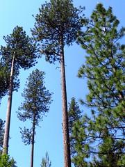 Tall trees (757) (lnmp_ny) Tags: camascreekroad peshastin washington cashmere trees