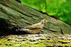 Song thrush (Jurek.P) Tags: birds bird drozdśpiewak songthrush warsaw warszawa lasekbielański poland polska wood spring jurekp sonya77