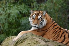 Siberian Tiger - Zoo Duisburg (Mandenno photography) Tags: animal animals siberian tiger tijger tigers tijgers dierenpark dierentuin dieren duitsland duisburg zoo zooduisburg germany bigcat big cat
