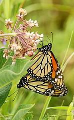 Monarques in copula / Monarchs (alainmaire71) Tags: lepidoptera lépidoptère papillon butterfly danainae danausplexippus monarque monarch nature quebec canada