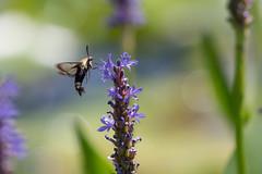 lake katherine. 2018 (timp37) Tags: insect lake katherine illinois palos july 2018 hummingbird moth