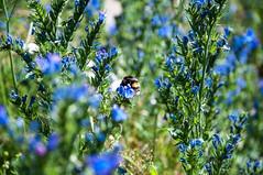 Summer garden (P. Burtu) Tags: sweden sverige summer sommar humla bumblebee flowers flower natur nature trädgård järvafältet väsby väsbygård insekt insect blåeld echium vulgare vipers bugloss blueweed