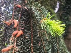 Forest feeling (LUMEN SCRIPT) Tags: macro focus tree colours arbre nature sapin pin pine green spring closeup close perspective artistic