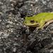 Squirrel Treefrog(Hyla squirella) (cre8foru2009) Tags: hylasquirella squirrel treefrog amphibian frog herping