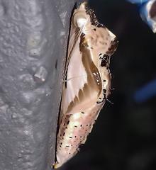 Ascia monuste orseis (Old Chrysalis) - Great Southern White / Borboleta-Brancão / Curuquerê-da-Couve (Godart, 1819) (A Sprinkle of Earth) Tags: caterpillar lagarta curuquerêdacouve pirpinto greatsouthernwhite brazil brasil south america lepidopterology lepidopterologia biology biologia entomology entomologia lepidoptera rhophalocera papilionoidea insecta insect insects inseto insetos arthropoda arthropod arthropods artrópode artrópodes pieridae pierinae pierini pierina animalia animal animals animais borboletabrancão borboleta borboletabranca butterfly butterflies whitebutterfly asciamonuste asciamonusteorseis neotropical micro nature natureza natural naturalism naturalismo photonaturalism fotonaturalismo naturaleza white branca branco verde green fauna chrysalis crisálida pupa insetologia couve curuquerê larva oscarneto asprinkleofearth spiritofphotography bug bugs entomofauna santacatarina beneditonovo
