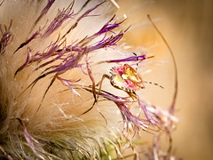 Bug In the Light (kitwilliams91) Tags: shieldbug insect creature somerset uk thistle flower seeds canon5dmiv macro