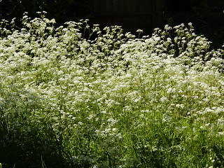 Cow parsley, sunlight