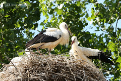 the baby storks are all grown (photos4dreams) Tags: gersprenz münster hessen germany naturschutz nabu naturschutzgebiet photos4dreams p4d photos4dreamz nature river bach flus susannahvictoriavergau susannahvvergau eventphotos4dreams canoneos5dmarkiii canoneos5dmark3 stork storch