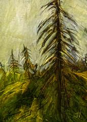"""Black Spruce - Denali National Park - Alaska (""""Jimmer"""" ( http://jim-vance.pixels.com )) Tags: blackspruce landscape trees"""