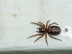 Callobius Bennetti (Wicked Dark Photography) Tags: om90mmf2macro arachnid backyard closeup funnelwebspider macro nature spider spiders summer