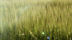 """The day that the rains came down......"" (Elisafox22) Tags: elisafox22 sony ilca77m2 100mmf28 macro macrolens telemacro hbw bokehwednesday bokeh dof barley grass green yellow rain sparkle raindrops field crop sunshine outdoors elisaliddell©2018"