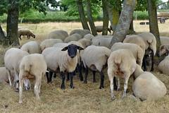 wenigstens ein Schaf nimmt Notiz von uns (mama knipst!) Tags: schaf sheep tier animal droverheide sommer juli