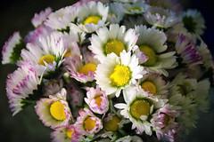 Y que cumplas muchos más/ And many more happy years (PURIFM) Tags: margarita macro flores flower nikon daisies hermosos naturaleza primavera ramo de
