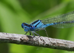 Azure Bluet damselfly (bug-in-my-eye) Tags: insects odonata coenagrionidae