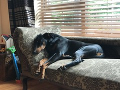 Dobermann Pinscher Saxon (firehouse.ie) Tags: dog dogs boy k9 blackandtan male saxon pinschers pinscher dobermans doberman dobeyss dobermann dobies dobie dobeys dobey dobes dobe
