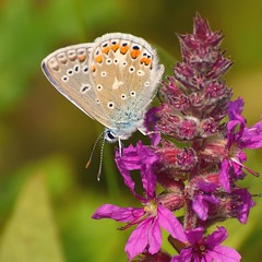Common Blue ( Icarus blauwtje) (moniquedoon) Tags: bbutterfly commonblue colours summer vlinder vlinders