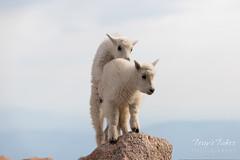 Mountain Goat kids play king of the mountain