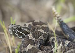Eastern Massasaauga Rattlesnake (Nick Scobel) Tags: eastern massasauga rattlesnake rattler sistrurus catenatus venomous snake pit viper rattle coiled defensive cryptic pattern scales vibrance