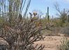 Saguaro Nat'l Park - Mountain District - 2018 (tonopah06) Tags: saguaronationalpark saguaro cactus cacti az arizona 2018 bajada landscape mountaindistrict westunit desertdiscoverytrail nature trail