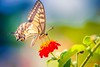 Her Majesty II (icemanphotos) Tags: summer bokeh abstract wings sunny dreamy closeup