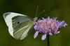 Kohlweißling (Ernst_P.) Tags: aut inzing österreich tirol gaisau pflanze tier blüte blume insekt schmetterling kohlweisling