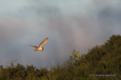 Barn Owl - Woods Mill (11) (Malcolm Bull) Tags: include woods mill barn owl 20180619woodsmill0011edited1web