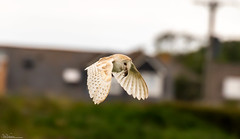 Barn Owl... Home Bound. (Steve (Hooky) Waddingham) Tags: stevenwaddinghamphotography bird british barn countryside coast nature northumberland flight voles mice morning prey photography owl wild wildlife