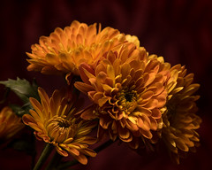 Keeping Things Close 1110 (Tjerger) Tags: nature flower flowers bloom blooms blooming plant natural flora floral portrait beautiful beauty black green fall wisconsin macro closeup yellow red redbackground mums mum keepingthingsclose orage