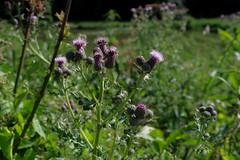 1479-48L (Lozarithm) Tags: caenhill devizes wilts canals kennetavon kennetandavon flora wildflowers pentax k50 zoom 1855 smcpda1855mmf3556alwr justpentax