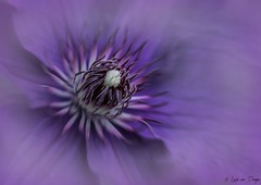 Clematis (Lucie van Dongen) Tags: stamen pistil heart violet nature flor closeup colorful colors flower macro clematis