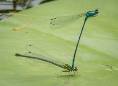 Different Point of View (Matt H. Imaging) Tags: ©matthimaging dragonfly insect macro fauna animal closeup sony slt sonyalpha slta77ii ilca77m2 ilca77ii minolta minoltaaf70210mmf4 minolta70210f4 beercan