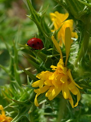DSC_2198 (Luniul) Tags: insect macro nature ladybug flowers yellow