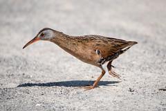 Virginia Rail (NicoleW0000) Tags: virginia rail wader bird rails nature wildlife photography