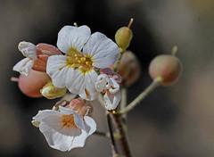 CAE010823a (jerryoldenettel) Tags: 180329 2018 brassicaceae brassicales nm oliverleestatepark oteroco physaria physariapurpurea purplebladderpod rosids wildflower bladderod flower