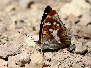 Purple Emperor - Dene Park Wood IMG_6773