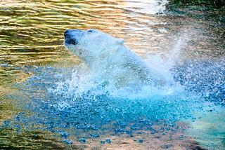 Jambi, Male Polar Bear of Yokohama Zoological Gardens : ホッキョクグマのジャンブイ(よこはま動物園ズーラシア)