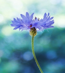 Blue dream. (Bessula) Tags: bessula nature flower garden feld bokeh photomanipalation texture kornblume cornflower coth5