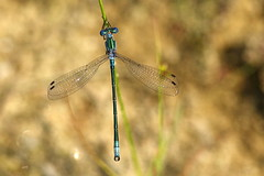 Lestes dryade (M) / Emerald Spreadwing (M) (alainmaire71) Tags: insecte insect odonata odonate damselfly demoiselle lestidae leste spreadwing lestesdryas lestedryade emeraldspreadwing nature quebec canada bokeh