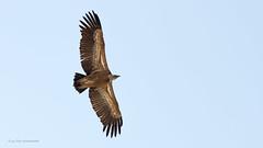 IMG_1401_dbcrkl09 (ifiamminghi) Tags: dieren roofvogel valegier vogel
