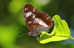 White Admiral 280618  (4) (Richard Collier - Wildlife and Travel Photography) Tags: butterflies whiteadmiral insects british closeup macro brownseaisland dorset dorsetwildlife ngc npc