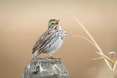Savannah Sparrow (Turk Images) Tags: beaverhilllakearea passerculussandwichensis savannahsparrow agriculture alberta birds emberizidae sasp sparrows prairie spring