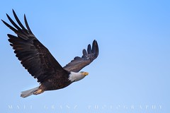 Happy July 4th (Matt Granz Photography) Tags: eagle raptor birdofprey symbol nationalbird flying flight bluesky california unitedstatesofamerica 4thofjuly july4 independenceday holiday wildlife urban milpitas nikon nature mattgranz northamericaneagle america bird sky animal