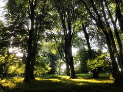 More trees and sunlight (mark.griffin52) Tags: england hertfordshire ashridgeestate countryside beechtrees woodland sunshine sunlight trees