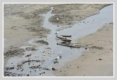 |/ Arcadia Beach Vista - III. \| (Wolverine09J ~ 1.5 Million Views) Tags: midnightandoregonjun18 northcoast arcadiabeach lowtide sand seagulls nature latespring rockstrewn staterecreationsite