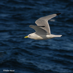 Mouette en vol (1) (didier95) Tags: mouette oiseau mer animaux