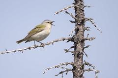 Calling Tennessee Warbler (Jeff Dyck) Tags: tennessee warbler tennesseewarbler oreothlypisperegrina churchill manitoba singing calling make birds jeffdyck